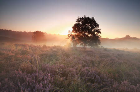 posbank: beautiful foggy sunrise over hills with heather, Netherlands