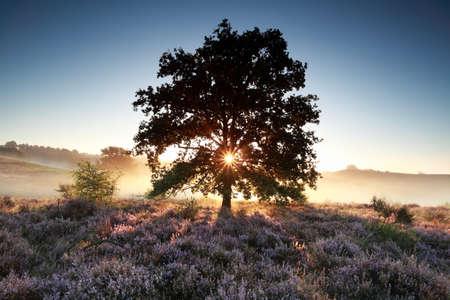 veluwe: morning sunbeams behind oak tree and heather, Netherlands
