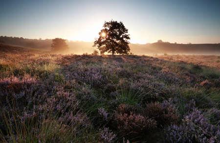 blossom tree: sunrise behind oak tree on heather hills, Gelderland, Netherlands Stock Photo