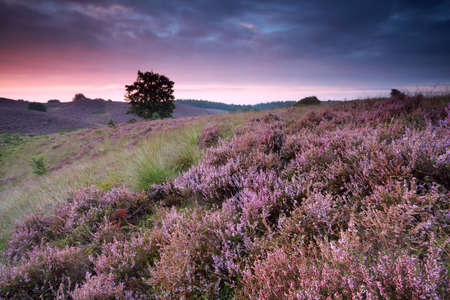 posbank: beautiful sunrise with flowering heather in summer, Netherlands Stock Photo