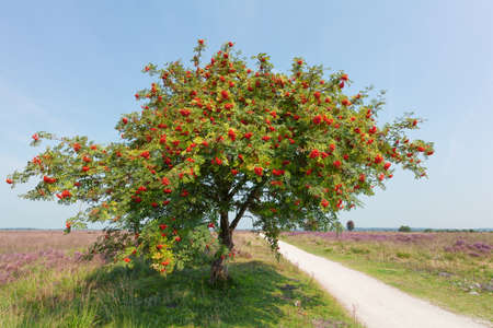 sorbus: sorbus or rowan tree with berry on sunny day