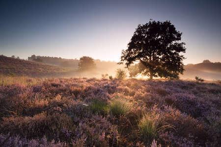 veluwe: misty summer sunrise over flowering heather, Netherlands