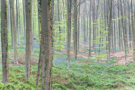 bluebell woods: beech forest with flowers in spring, Belgium