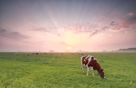 cow grazing grass at summer sunrise, Holland Banco de Imagens