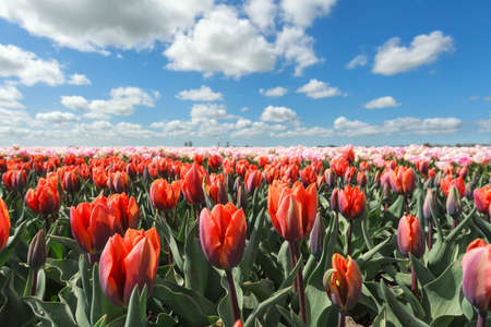 sunligh: orange and pink tulips during sunny day in spring, Holland Stock Photo