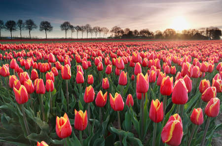 north holland: sunrise sun over red tulip field in North Holland, Netherlands Stock Photo