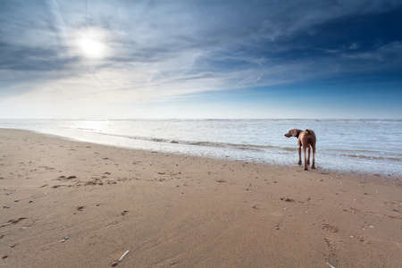 north holland: dog on sand beach in sunshine, North Holland, Netherlands