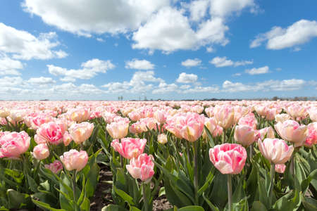 north holland: beautiful pink tulip field in sunny day, North Holland, Netherlands