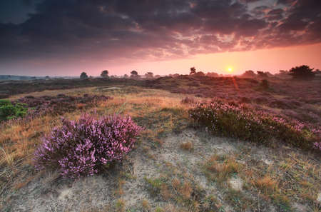heathland: purple summer sunrise on heathland, Drenthe, Netherlands