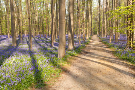 bluebells: path in forest with bluebells, Hallerbos, Belgium Stock Photo