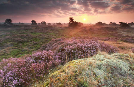 heathland: purple summer sunrise over heathland, Netherlands Stock Photo
