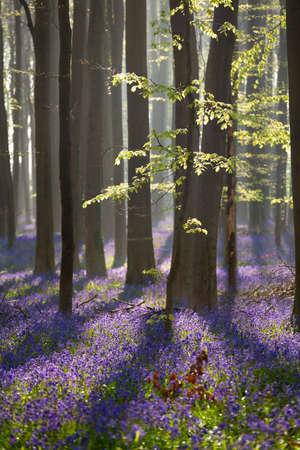 sunny beech forest with bluebell flowers, Hallerbos, Belgium Banco de Imagens