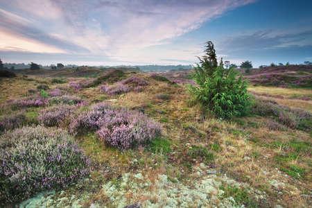 heathland: beautiful heathland in summer, Drenthe, Netherlands