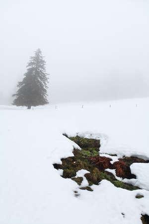 baden wurttemberg: spruce tree in winter fog, Germany