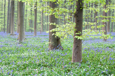 bluebell woods: beautiful bluebell flowers in the forest, Hallerbos, Belgium Stock Photo