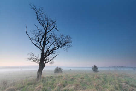 north brabant: misty morning on marsh with dry tree, Netherlands
