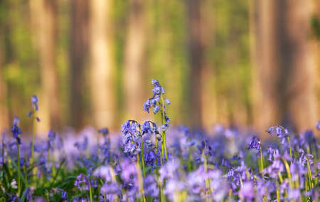 bluebell woods: bluebell flowers in morning spring forest, Hallerbos