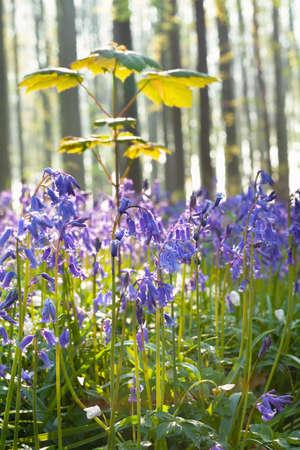 bluebell woods: bluebell flowers in forest, Hallerbos, Belgium