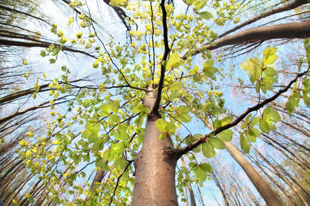 ''wide angle'': beech tree in spring forest  via wide angle