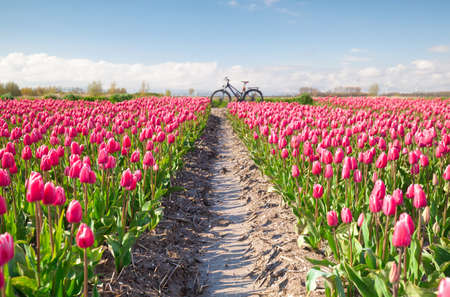 sunny crimson red tulip flowers field and bicycle, Holland
