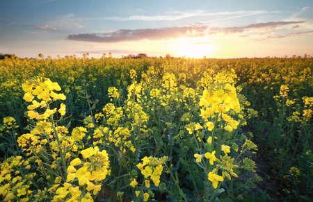 canola: canola flower field at spring sundown