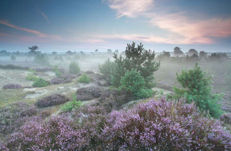 heathland: misty heathland in summer, Drenthe, Netherlands
