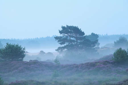 heather: foggy hills with heather in summer morning