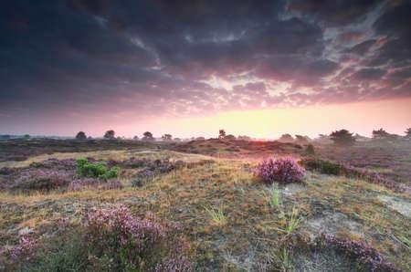 heathland: purple summer sunrise on heathland, Friesland, Netherlands
