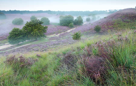 posbank: hills with flowering heather and morning fog, Posbank, Netherlands Stock Photo
