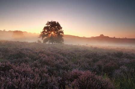 heathland: misty summer sunrise on heathland, Gelderland, Netherlands Stock Photo
