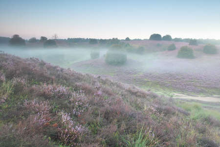 posbank: heather flowers on hills in mist, Posbank, Netherlands