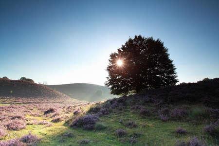 posbank: oak tree and flowering heather at sunrise, Posbank, Netherlands Stock Photo