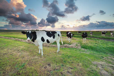 wadden: cattle on pasture at summer sunset by Wadden sea, Netherlands