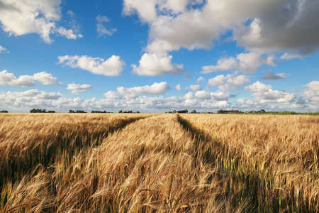 wheat field and blue sky in summer, Friesland, Netherlands Stock Photo