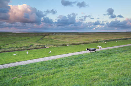 the wadden sea: sheep on pasture at Wadden sea coast, Friesland, Netherlands Stock Photo