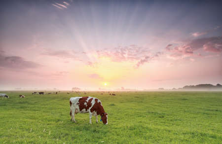 dramatic sunrise: cow grazing on pasture at dramatic sunrise, Holland