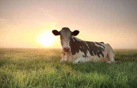 lye: relaxed cow on pasture at misty sunrise