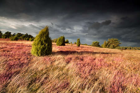 heathland: shadows juniper trees on hill with heather, Germany