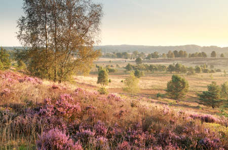heathland: hills with heather flowers in morning sunlight