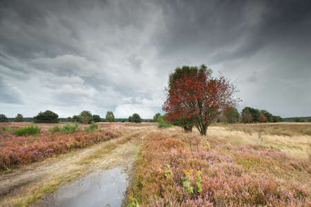 rowan tree and heather by ground road, Luneburger heide, Germany