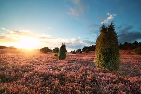 enebro: sunset over flowering heather and juniper trees in summer Foto de archivo