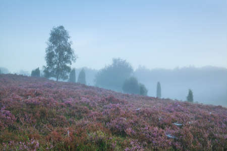 foggy hill: heather on hill during foggy summer morning Stock Photo