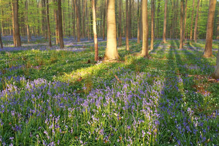 bluebell woods: beech forest with blooming bluebells in spring