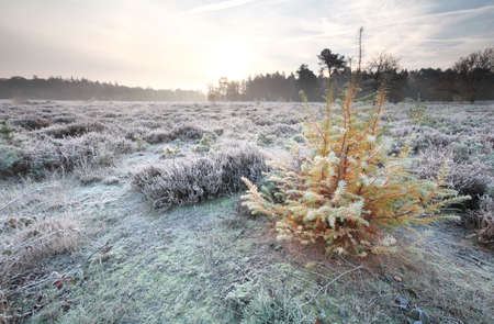 larch tree: larch tree in morning autumn frost Stock Photo