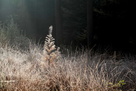 larch tree: sunshine over larch tree in frost forest Stock Photo