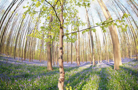 bluebell woods: spring forest with many flowers, Hallerbos, Belgium Stock Photo