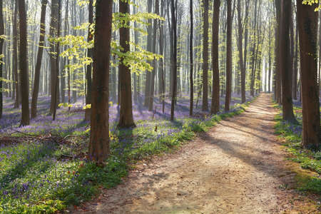 hiking path: hiking path in spring flowering forest during sunny morning