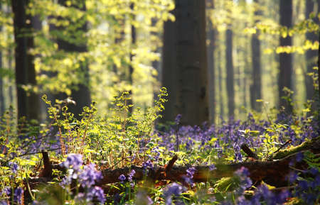fern and bluebell flowers in sunny forest Stock Photo