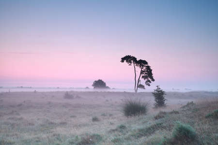 Serene misty sunrise on meadow with pine Stock Photo