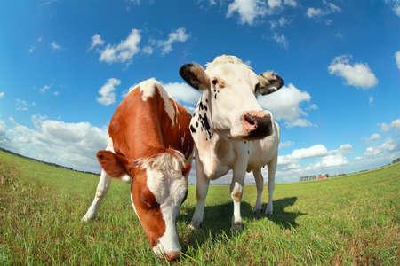 青い空の上の牧草地に牛をクローズ アップ 写真素材